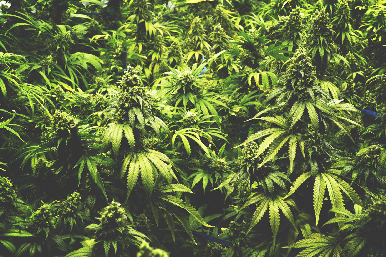 Background Texture of Marijuana Plants at Indoor Cannabis Farm Vintage